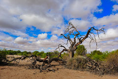 The Kalahari (Botswana). The Kalahari Desert is a large arid to semi-arid sandy area in Southern Africa covering much of Botswana and parts of Namibia and South Royalty Free Stock Photography