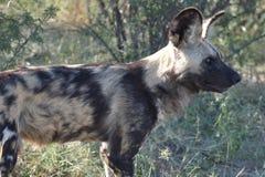 Kalahari central : Wilddogs sont les chasseurs et les tueurs dangereux photographie stock libre de droits