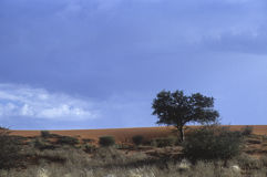 Kalahari desert. Dune of kalahari desert in Namibia Royalty Free Stock Image