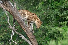 Kalahari desert leopard, Botswana Royalty Free Stock Photography