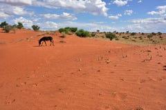 Kalahari desert, Namibia, Africa Stock Photo