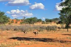 Kalahari desert, Namibia. Beautiful landscape with acacia trees, bush and running antelopes in the Kalahari desert at evening light, Namibia, Africa Stock Image