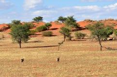 Kalahari desert, Namibia. Beautiful landscape with acacia trees, bush and running antelopes in the Kalahari desert at evening light, Namibia, Africa Royalty Free Stock Images