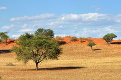 Kalahari desert, Namibia. Beautiful landscape with acacia trees in the Kalahari desert at evening light, Namibia, Africa Royalty Free Stock Image