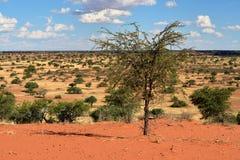 Kalahari desert, Namibia. Beautiful landscape with acacia trees in the Kalahari desert at evening light, Namibia, Africa Stock Image