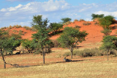 Kalahari desert, Namibia. Beautiful landscape with acacia trees and relaxed antelopes in the Kalahari desert at evening light, Namibia, Africa Royalty Free Stock Photography