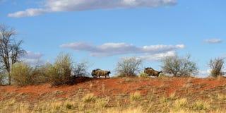 Kalahari desert, Namibia. Blue wildebeest antelopes Royalty Free Stock Photography