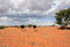 Kalahari desert, Namibia. Lovely landscape in Kalahari with couple of ostrichs in bright colours at afternoon time Stock Photos