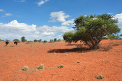 Kalahari desert, Namibia. Lovely landscape in Kalahari with couple of ostrichs in bright colours at afternoon time Stock Photo