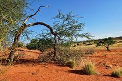 Kalahari desert, Namibia. Kalahari desert at sunset time, Namibia, Africa Stock Photography