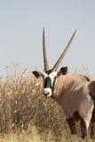 Kalahari gemsbok Stock Image