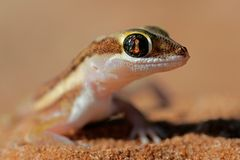 Kalahari ground gecko Royalty Free Stock Photography