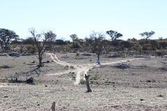 Kalahari II vivente Immagini Stock Libere da Diritti