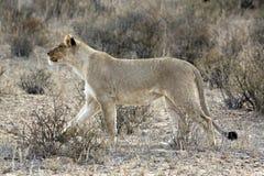 Kalahari-Löwe im Kgalagadi Lizenzfreie Stockfotos
