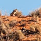 Kalahari-Löwin Stockfotos