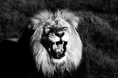 kalahari Leo lwa panthera monochrom Fotografia Stock