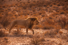 Kalahari lew 5183 Zdjęcie Royalty Free