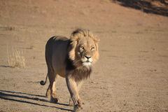 Kalahari lew Obraz Royalty Free