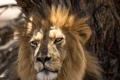 Kalahari Lion Royalty Free Stock Photography