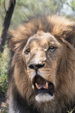 Kalahari lion. Close up portrait of a male black maned  Kalahari lion showing his fangs Royalty Free Stock Photo