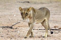 Kalahari lion in the Kgalagadi Stock Photography