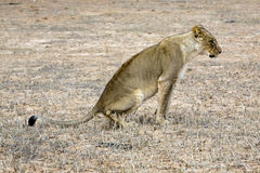 Kalahari lion in the Kgalagadi. A lioness in the Kalahari in the Kgalagadi Transfrontier National Park in South Africa and Botswana Stock Photography
