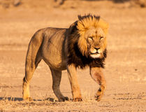 Kalahari Lion. S are unique when it comes to size and the black mane hair. Majestic to see and experience the king of the animals has a certain aura that must be Stock Photos