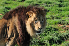 A Kalahari lion, Panthera leo Royalty Free Stock Images