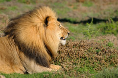 A Kalahari lion, Panthera leo, in the Addo Elephant National Par Royalty Free Stock Image