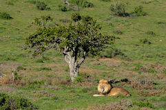 A Kalahari lion, Panthera leo, in the Addo Elephant National Par Royalty Free Stock Photos