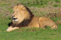 A Kalahari lion, Panthera leo, in the Addo Elephant National Par Stock Images