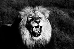 A Kalahari lion, Panthera leo. Monochrome Stock Photography