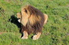 Kalahari lion showing mane Royalty Free Stock Images