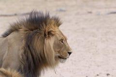 Kalahari Lion. View of a Kalahari lion in dry riverbed Royalty Free Stock Photography