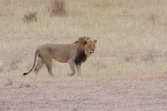 Kalahari Lion. View of a Kalahari lion in dry riverbed Royalty Free Stock Image