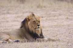 Kalahari Lion. View of a Kalahari lion in dry riverbed Stock Image