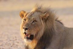 Kalahari Lion. View of a Kalahari lion in dry riverbed Stock Photo