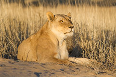 Kalahari lioness Royalty Free Stock Photography