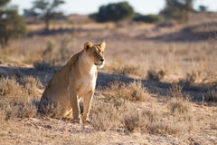 Kalahari lioness Royalty Free Stock Image