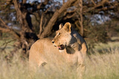 Kalahari lioness in golden light Royalty Free Stock Image