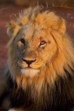 Kalahari male lion Stock Photography