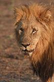Kalahari male lion Stock Images