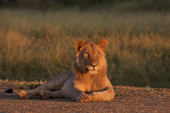Kalahari male lion Stock Photo