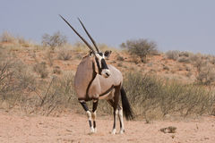Kalahari Oryx (Oryx Gazella). An oryx stands against the backdrop of red dunes in the Kalahari desert royalty free stock image
