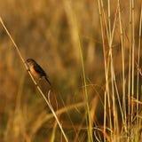 Kalahari or Sandy scrub robin Stock Photos