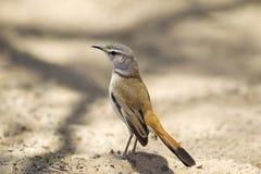 Kalahari-Scheuern-Rotkehlchen Lizenzfreie Stockbilder