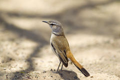 Kalahari Scrub-robin Royalty Free Stock Images