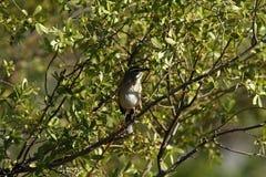 Kalahari Scrub Robin Stock Photos