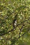 Kalahari Scrub Robin Royalty Free Stock Images