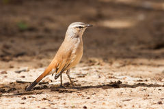 Kalahari scrub robin walking on sand in the sun Royalty Free Stock Photography